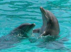 Delphin schwimmen